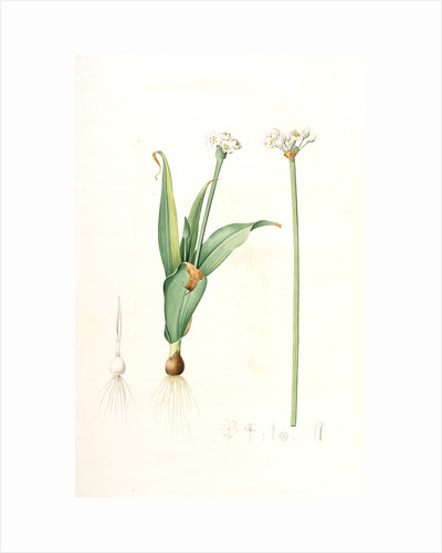 Allium sulcatum, Allium neapolitanum; Ail cannelé, Naples onion by Pierre Joseph Redouté