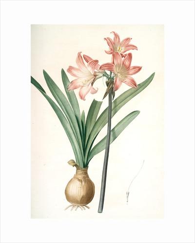Amaryllis Belladonna, Amaryllis belladona; Amaryllis belladone; Belladonna Lily, Jersey Lily by Pierre Joseph Redouté
