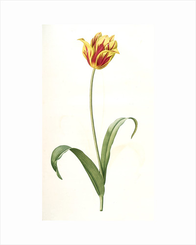 Tulipa Gesneriana var. luteo-rubra, Tulip des jardins var. jaune-rouge, Didier's Tulip by Pierre Joseph Redouté