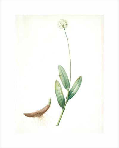 Allium victorialis, Ail victoriale, Victory onion by Pierre Joseph Redouté