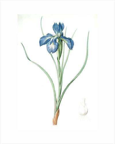 Iris xyphioides, Iris faux-xyphium; English Iris by Pierre Joseph Redouté