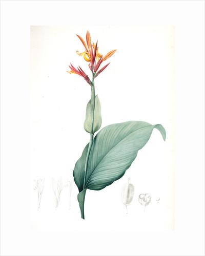 Canna indica, Baslisier der Indes; Indian Shot, Achira by Pierre Joseph Redouté