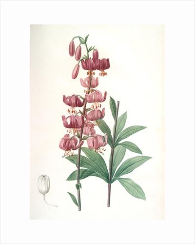Lilium martagon, Lis martagon; Turk's Cap Lily or Martagon Lily by Pierre Joseph Redouté