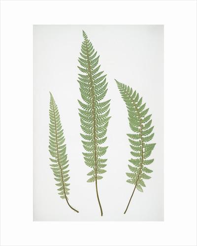 The common prickly shield fern by Henry Riley Bradbury