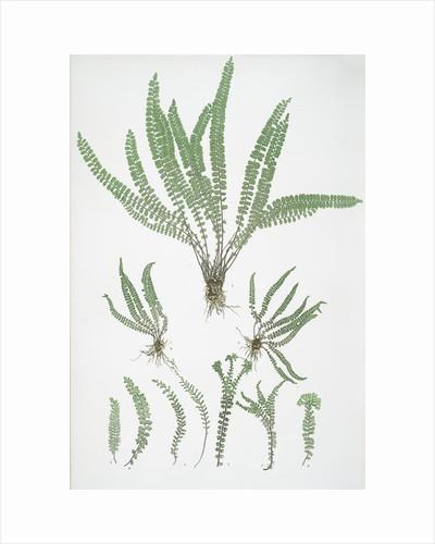 The common maidenhair spleenwort by Henry Riley Bradbury