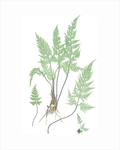 The black maidenhair spleenwort by Henry Riley Bradbury