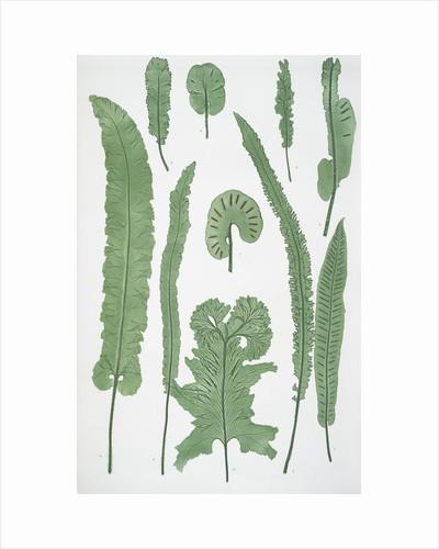 The common harts-tongue fern by Henry Riley Bradbury