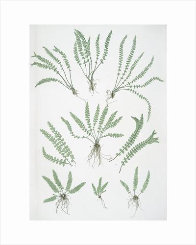 The green spleenwort by Henry Riley Bradbury