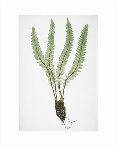 The Alpine shield fern, or Holly fern by Henry Riley Bradbury