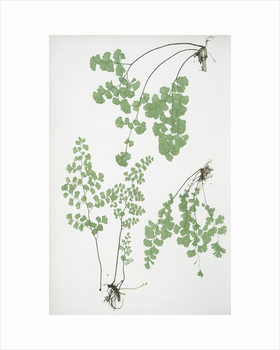 The common maidenhair fern by Henry Riley Bradbury