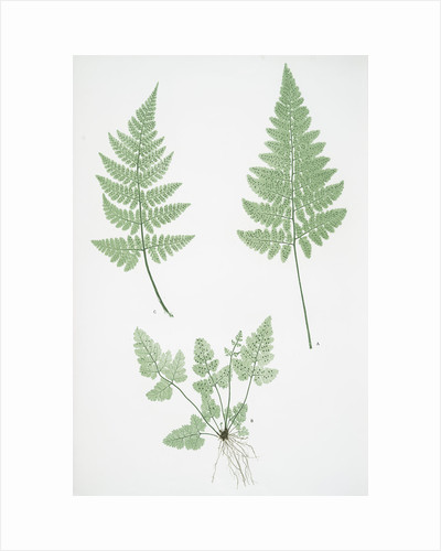 The broad prickly-toothed buckler fern by Henry Riley Bradbury