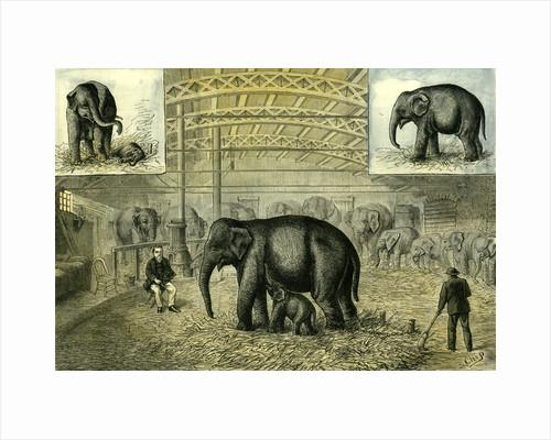 Philadelphia U.S.A. 1880 Baby Elephant the First Elephant by Anonymous