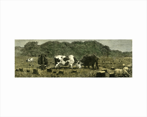 Canada Farm Life Cattle Grazing in Newly Cleared Pasture 1880 by Anonymous