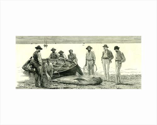 Caribbean Sea 1885 Shark Fishing Fish by Anonymous