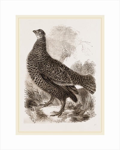 Black Grouse Female by Anonymous