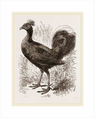 Fire-backed Jungle Fowl Male by Anonymous