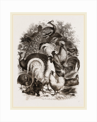 Group of Domestic Poultry by Anonymous