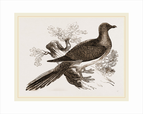 Passenger Pigeon by Anonymous