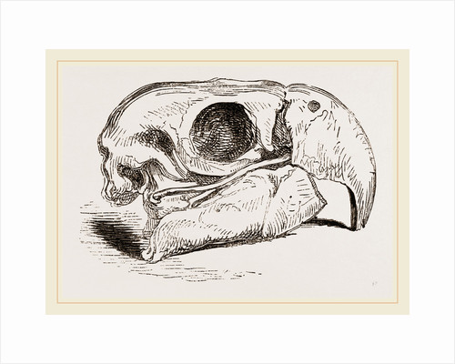 Skull of Macaw by Anonymous