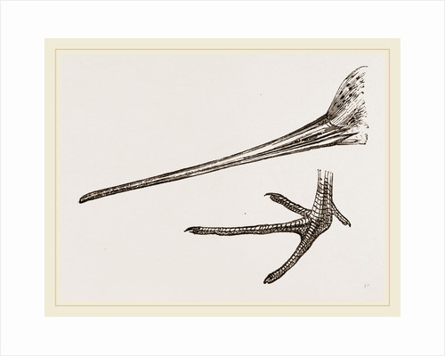 Beak and Foot of Black-tailed Godwit by Anonymous