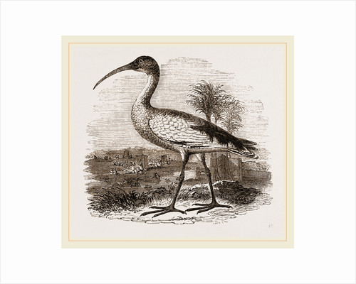Sacred Ibis by Anonymous