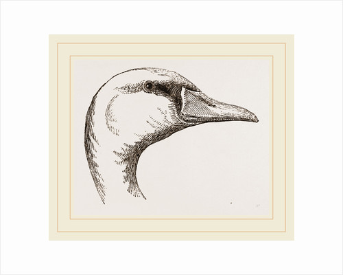 Head of Polish Swan by Anonymous