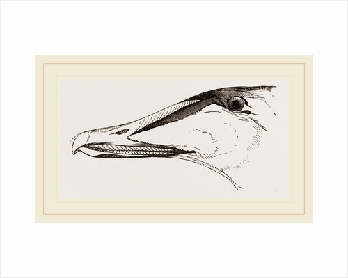 Bill of Eider-Duck by Anonymous