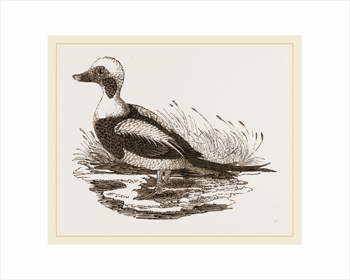 Long-tailed Duck Male by Anonymous