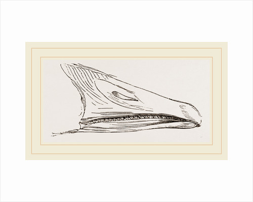 Bill of Snow Goose by Anonymous