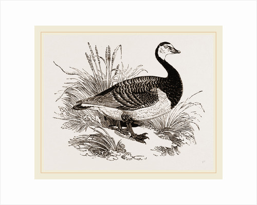 Bernicle Goose by Anonymous