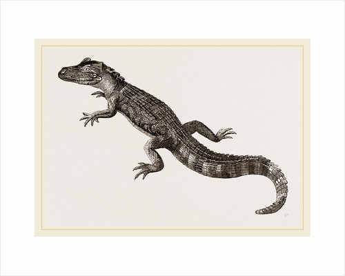 Pike-nosed Caiman or Alligator by Anonymous
