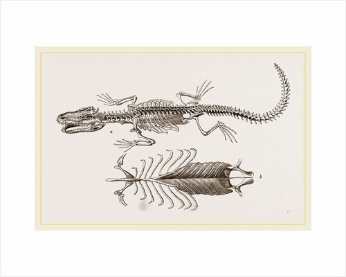 Skeleton and Sternum of Pike nosed Caiman or Alligator by Anonymous