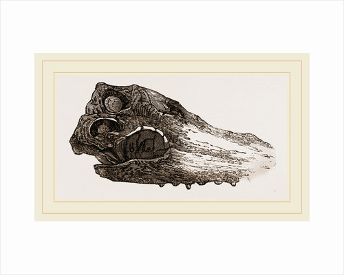 Skull of Crocodile Fossil by Anonymous