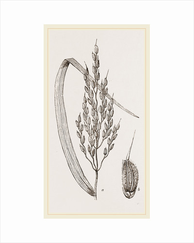Panicle of the Rice-plant by Anonymous
