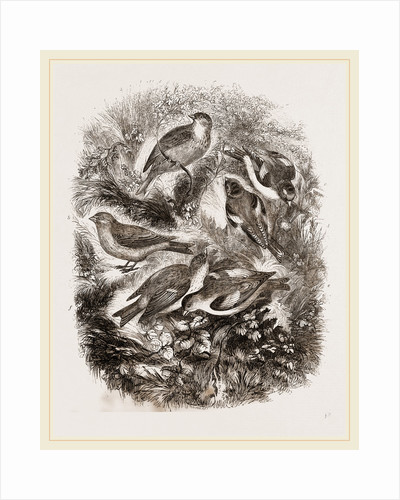Group f Finches by Anonymous