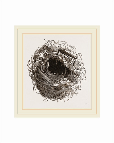 Nest of Yellow Wren by Anonymous