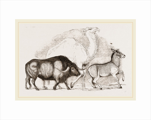 Syrian Ox Camel and Wild Ass by Anonymous