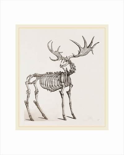 Skeleton of Fossil Elk by Anonymous