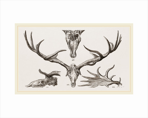 Fossil Elk by Anonymous