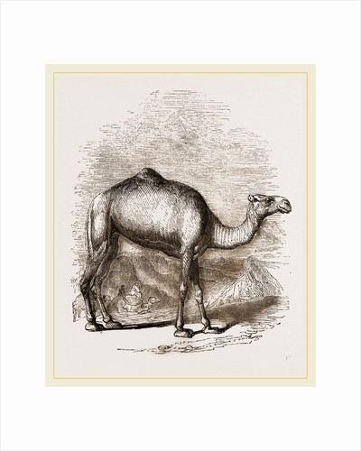 Swift Camel by Anonymous