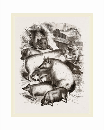 Group of Domestic Hogs by Anonymous