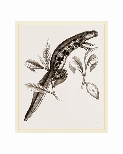 Common Water-Newt Female by Anonymous