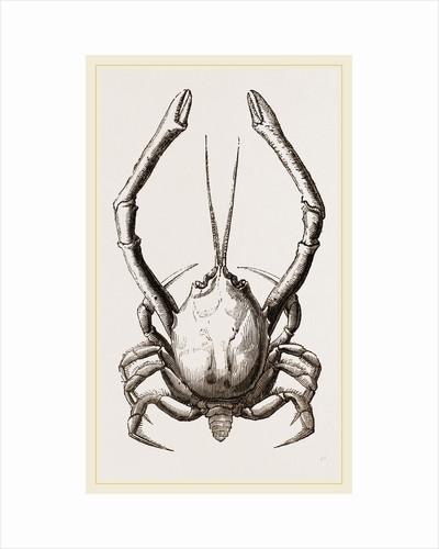 Corystes Cassivelaunus Male by Anonymous