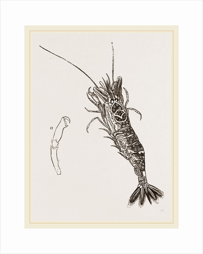 Common Shrimp by Anonymous