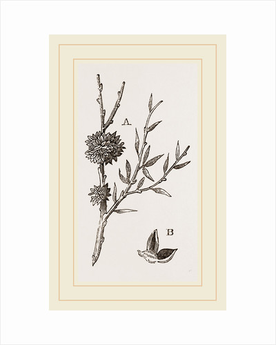 Galls of Dyer's-Broom Insect by Anonymous