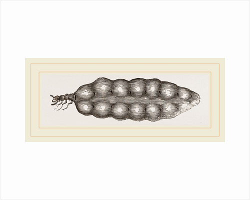 Termite Queen distended with Eggs by Anonymous