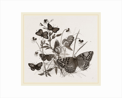 Group of Butterflies by Anonymous