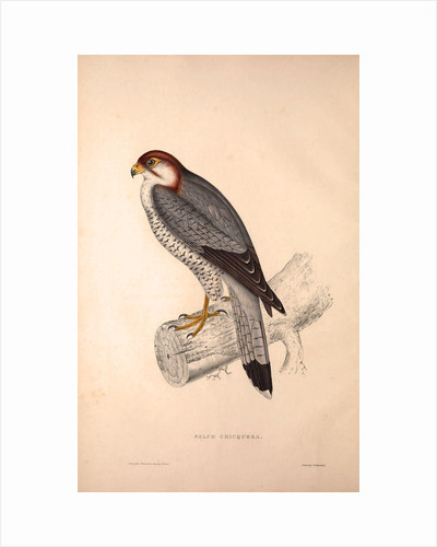 Falco Chicquera, Red-necked Falcon or Red-headed Merlin by Elizabeth Gould and John Gould