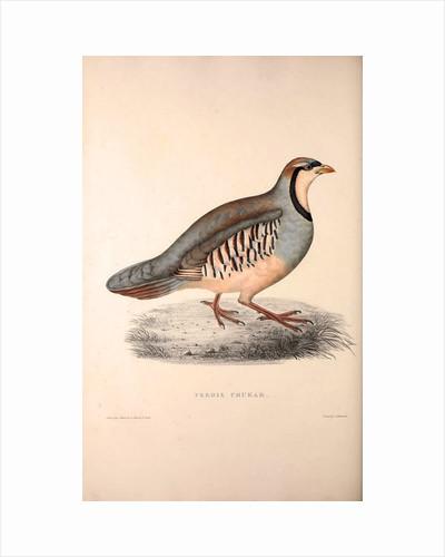 Perdix Chukar, Chukar Partridge. Eurasian upland gamebird in the pheasant family Phasianidae. by Elizabeth Gould and John Gould