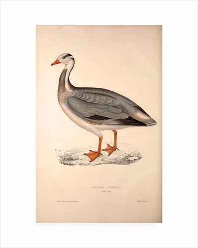 Anser Indica, Bar-headed Goose by Elizabeth Gould and John Gould